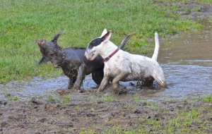 Dogs in a puddle